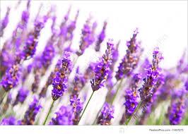 Những công dụng tuyệt vời của Oải Hương (Lavender)